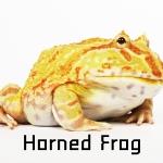 Horned Frog กบฮอร์นฟรอก
