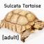 Sulcata Tortoise ซูคาต้าไซร์ผสม thumbnail 1