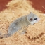 African pygmy dormouse thumbnail 3