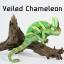 Veiled Chameleon เวลล์ คามิเลียน thumbnail 1
