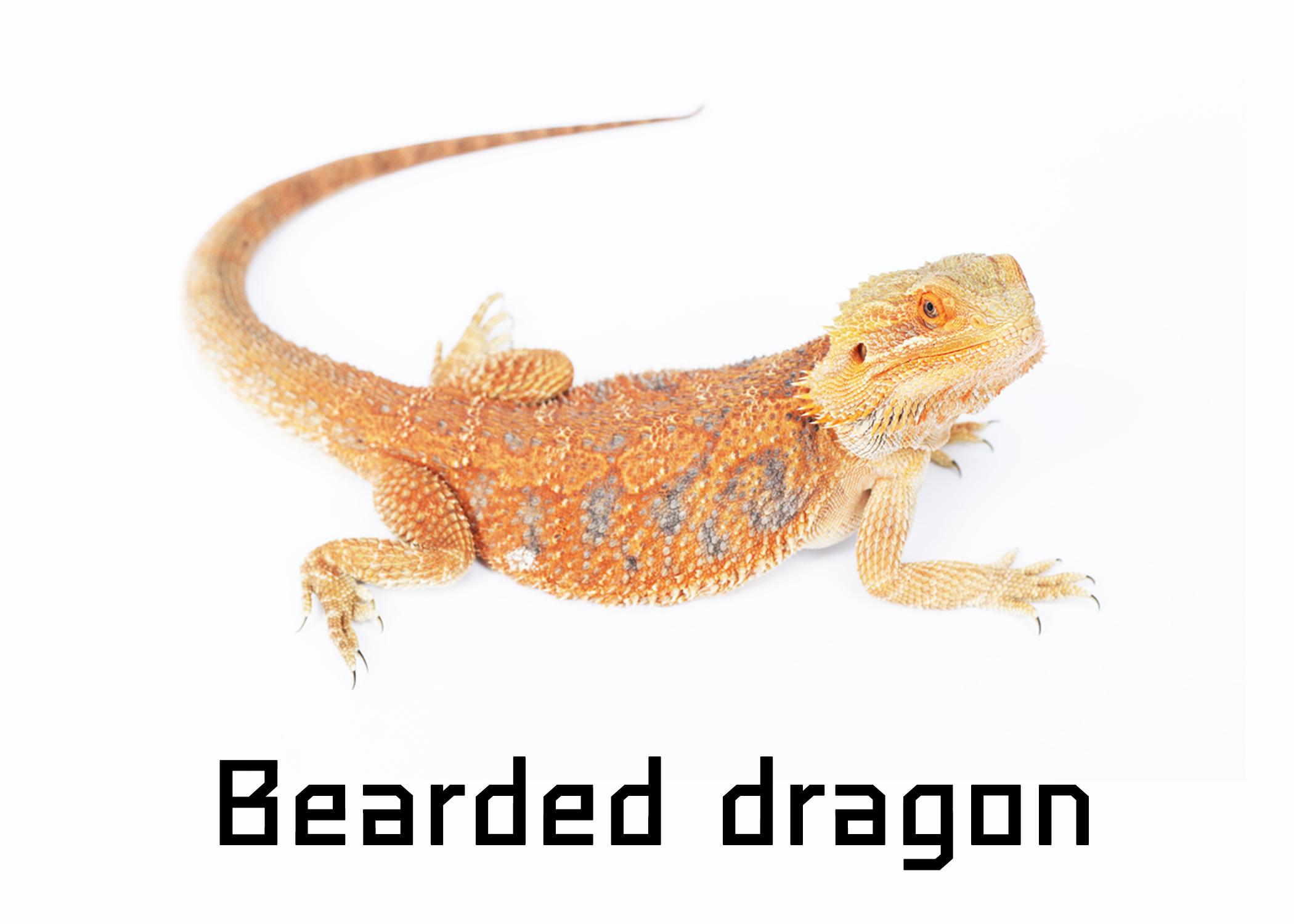 Bearded dragon เบี๊ยดดราก้อน