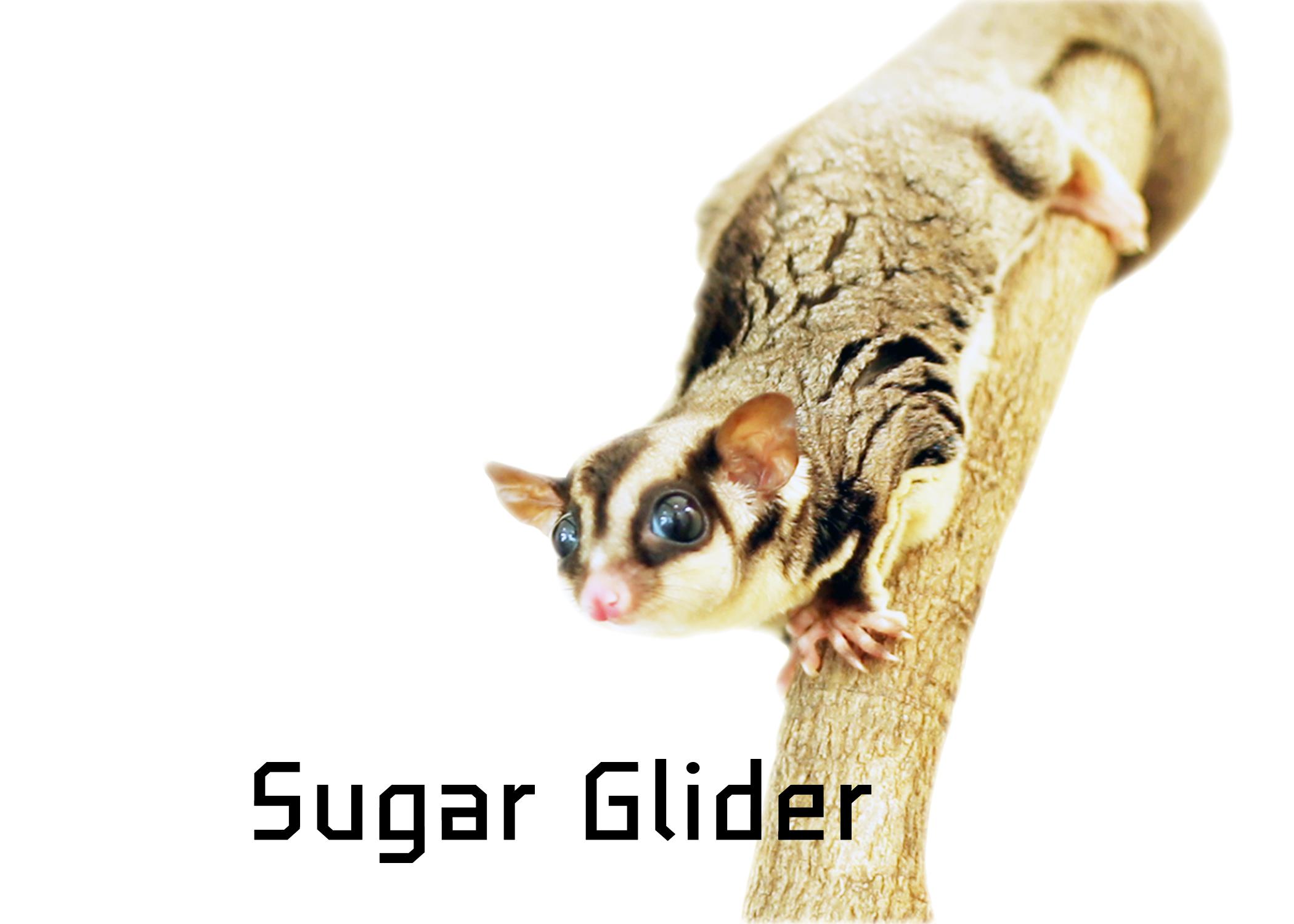 Sugar Glider ซูการ์ไกรเดอร์
