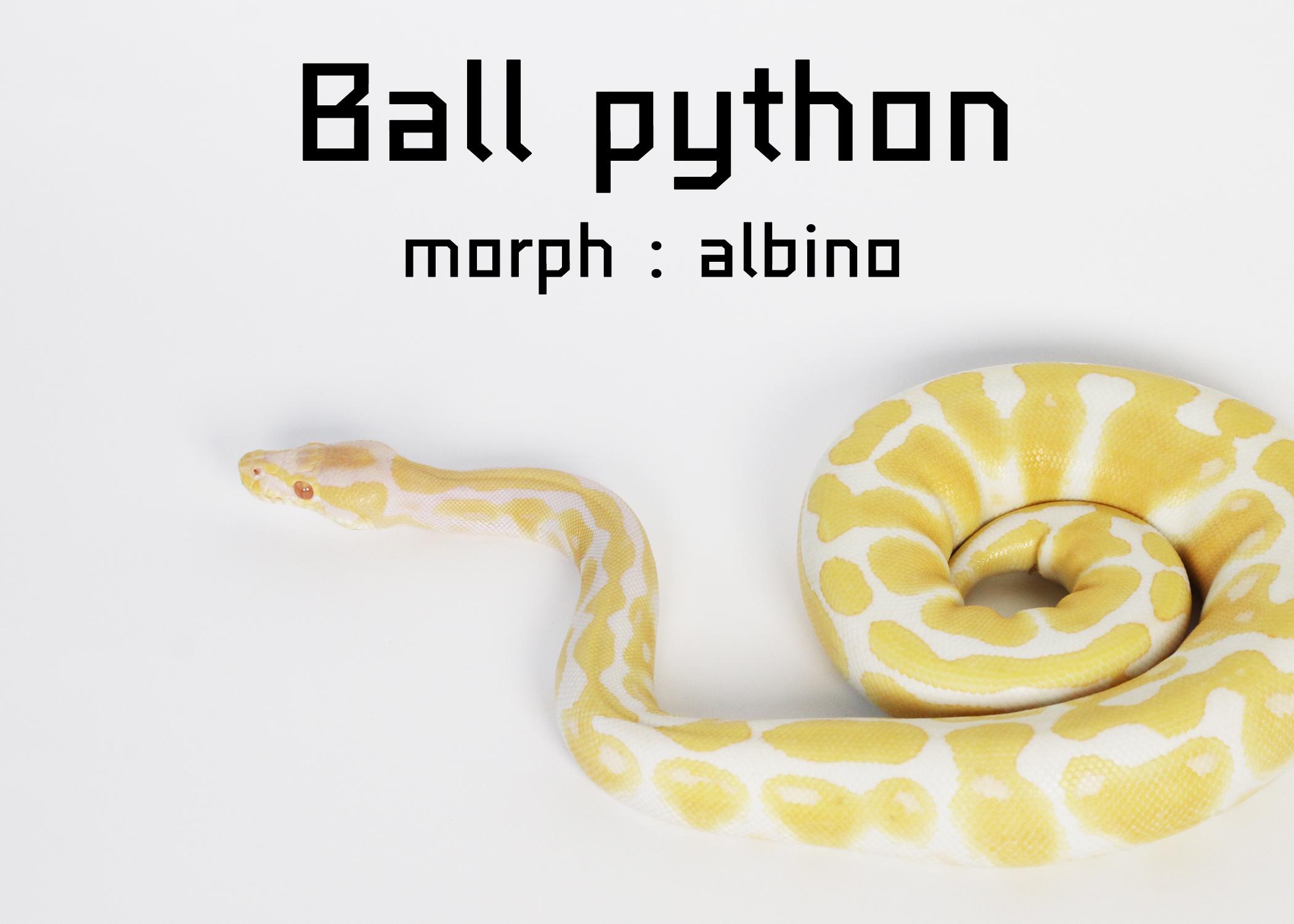 ball python albino