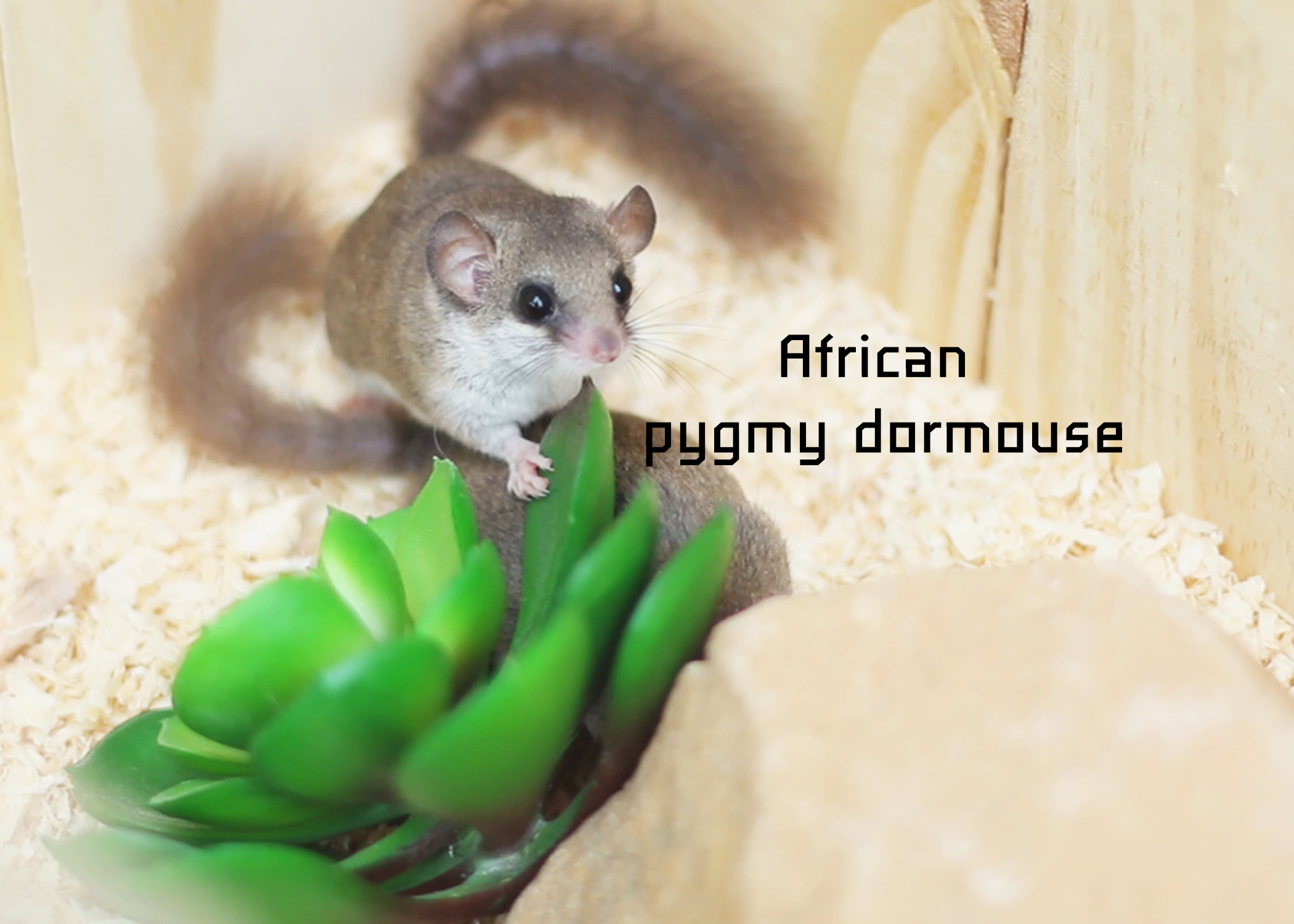 African pygmy dormouse
