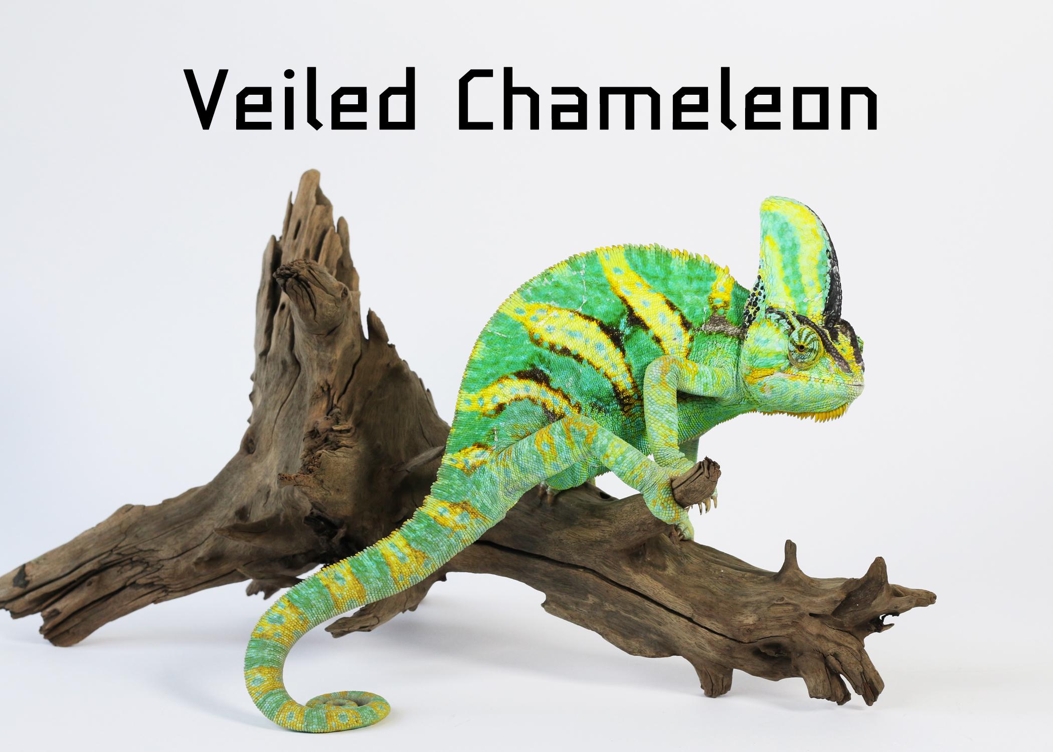 Veiled Chameleon เวลล์ คามิเลียน