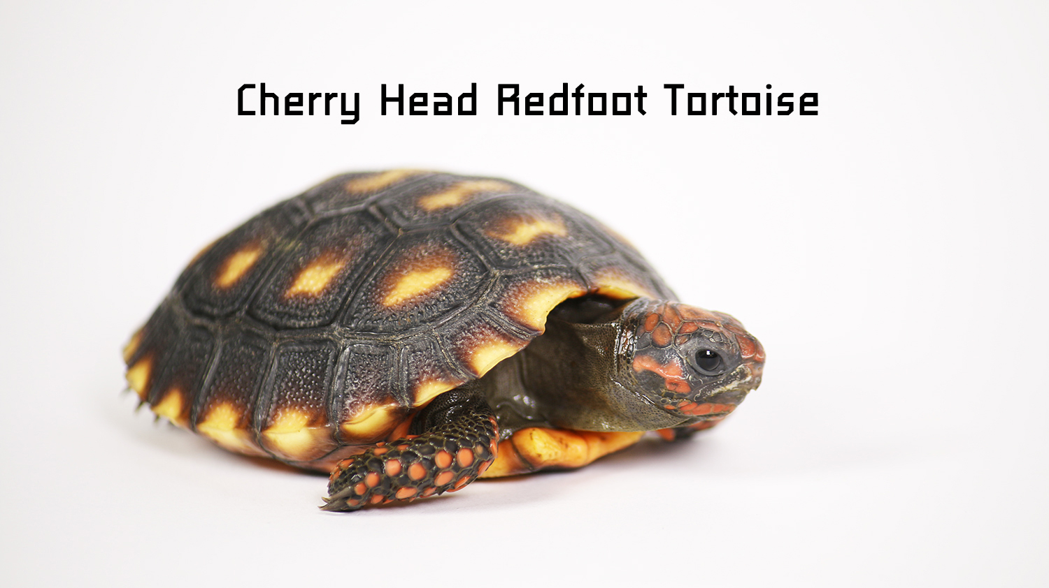 cherry head redfoot Tortoise