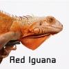 อีกัวน่า (Iguana) ลองเลี้ยงสักครั้ง แล้วจะติดใจ