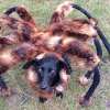 ชุดแมงมุมสำหรับสุนัข