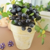 Blueberry In Flowerpot ต้นบลูเบอร์รี่ในกระถาง