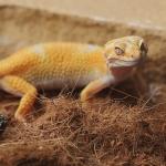 Leopard Geckos หรือ ตุ๊กแกเสือดาว