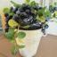 Blueberry In Flowerpot ต้นบลูเบอร์รี่ในกระถาง thumbnail 3