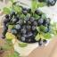 Blueberry In Flowerpot ต้นบลูเบอร์รี่ในกระถาง thumbnail 2