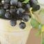 Blueberry In Flowerpot ต้นบลูเบอร์รี่ในกระถาง thumbnail 6