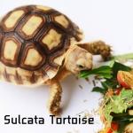 Sulcata Tortoise เต่าซูคาต้า