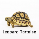 Leopard Tortoise เต่าเลียวพาร์ด