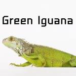 Green Iguana กรีนอีกัวน่า