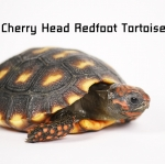 cherry head redfoot Tortoise