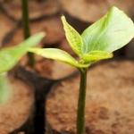 ต้นถั่วดาวอินคา พืชมหัศจรรย์ ต้านโรคร้าย จากชนเผ่า อินคา